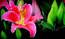 Blossoming pink lily flower and buds Stock Photos