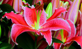 Blossoming pink lily flower. Close up of a beautiful and vibrant pink lily flower Stock Photography
