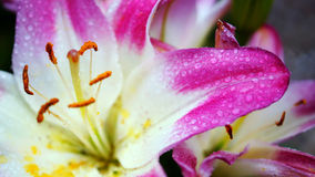 Blossoming Pink Lily Flower on nature background Royalty Free Stock Images