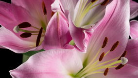 Blossoming pink lily stock footage