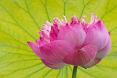 Blossoming pink lotus flower . Stock Image