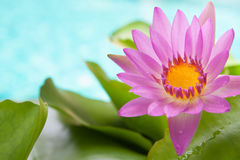 Blossoming pink lotus flower on bright turquoise water background with water drops on leaves Stock Photos