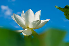 Blossoming pink lotus with green leaf Royalty Free Stock Photos