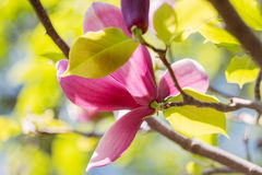 Blossoming of pink magnolia flowers in spring time Royalty Free Stock Images