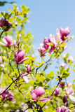 Blossoming of pink magnolia flowers in spring time Royalty Free Stock Photography