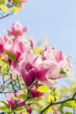 Blossoming of pink magnolia flowers in spring time Stock Images