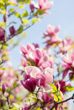 Blossoming of pink magnolia flowers in spring time Stock Photography