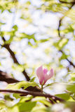 Blossoming of pink magnolia flowers in spring time Stock Image