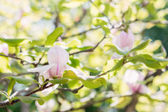 Blossoming of pink magnolia flowers in spring time Royalty Free Stock Photo