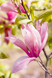 Blossoming of pink magnolia flowers in spring time Royalty Free Stock Image