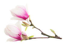 Blossoming pink  magnolia tree Flowers. Blossoming pink magnolia  tree flowers against white background Royalty Free Stock Photos