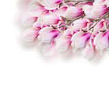 Blossoming pink  magnolia tree Flowers Royalty Free Stock Photography