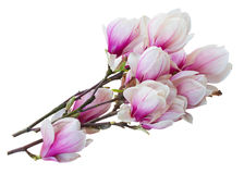 Blossoming pink  magnolia tree Flowers Royalty Free Stock Photo