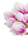 Blossoming pink  magnolia tree Flowers Royalty Free Stock Images