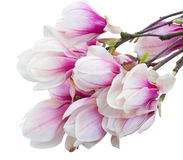 Blossoming pink  magnolia tree Flowers Stock Images