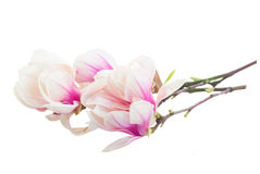 Blossoming pink  magnolia tree Flowers Royalty Free Stock Image