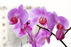 The blossoming pink orchid Stock Image