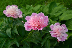 Blossoming of pink peonies (Paeonia L.) Royalty Free Stock Photos