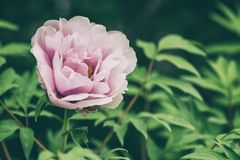 Blossoming peony flowers in the garden, natural seasonal floral background royalty free stock image