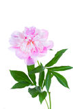 Blossoming pink peony Stock Image