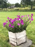The blossoming pink petunias in a vintage pot on a green lawn stock photography