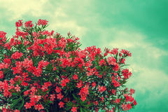 Blossoming pink rhododendron bush. Against blue sky with clouds royalty free stock photo