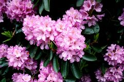 blossoming pink rhododendron flower background stock photo