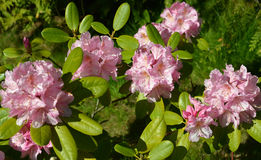 The blossoming pink rhododendron (Rhododendron L.) Stock Image