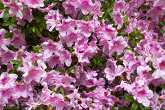 Blossoming pink rhododendrons Stock Photography