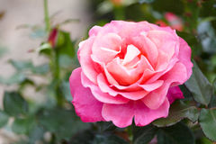 Blossoming pink rose Stock Photography