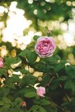 Blossoming pink rose on branches in the garden. Backlight, film effect and author processing. Blossoming pink rose on branches in the garden. Backlight, film royalty free stock image