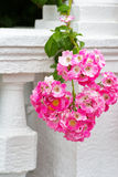 Blossoming pink roses Royalty Free Stock Photos