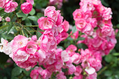 Blossoming pink roses Stock Photos