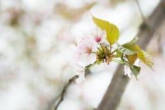 Blossoming pink sakura cherry tree flowers. Nature background Stock Images