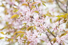 Blossoming pink sakura cherry tree flowers. Nature background Royalty Free Stock Image