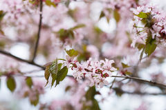 Blossoming pink sakura cherry tree flowers. Nature background Stock Photography