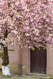 Blossoming pink sakura tree on the streets of Uzhgorod Stock Photos