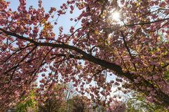 Blossoming pink sakura trees Royalty Free Stock Photo
