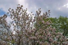 Blossoming pink sakura trees on the streets of Uzhgorod city Royalty Free Stock Photography