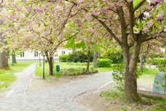 Blossoming pink sakura trees on Uzhgorod Royalty Free Stock Images