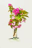 Blossoming pink sakura in vase. Stock Images