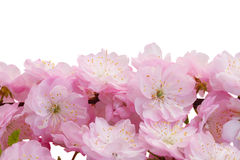 Blossoming pink tree Flowers Stock Photography