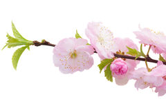 Blossoming pink tree Flowers Royalty Free Stock Photo