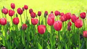 Blossoming pink tulips stock video