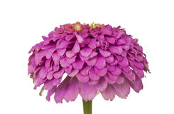 Blossoming Pink Zinnia Stock Photo