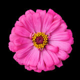 Blossoming Pink Zinnia Elegans Isolated on Black. Background Stock Photos