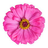 Blossoming Pink Zinnia Elegans Isolated on White. Background Royalty Free Stock Photo
