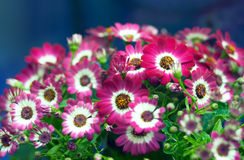 Blossoming plant. Blossoming home plant part with pink-red flowers Royalty Free Stock Images