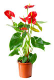 Blossoming plant of Anthurium Royalty Free Stock Photo