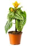 Blossoming plant of aphelandra Stock Image